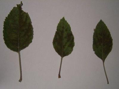 Τροφοπενία σιδήρου σε φύλλα μηλιάς
