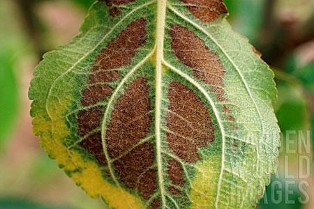 Τροφοπενία μαγνησίου στη κάτω πλευρά φύλλου μηλιάς