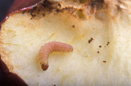 Προνύμφη της καρπόκαψας εξέρχεται από τον καρπό