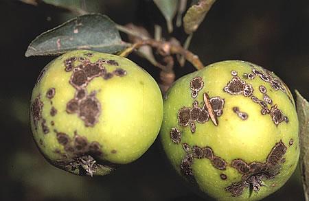 Συμπτώματα σε καρπούς μηλιάς από τον μύκητα Φουζικλάδιο της μηλιάς