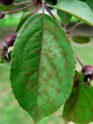 Κηλιδώσεις σε φύλλο μηλιάς από προσβολή του μύκητα Φουζικλάδιο της μηλιάς