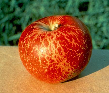 Ωίδιο σε καρπό μήλου