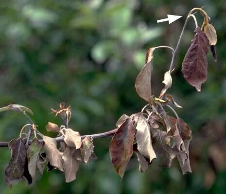 Δένδρο μηλιάς έντονα προσβεβλημένο από βακτηριακό κάψιμο