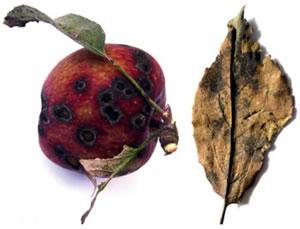Προσβεβλημένος καρπός μήλου και φύλλο από βακτηριακό κάψιμο