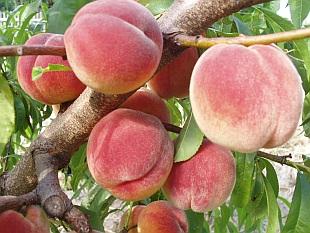 Καλλιέργεια Ροδακινιάς σε Κήπο και Γλάστρα. Συμβουλές Εχθροί Ασθένειες