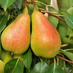 Καλλιέργεια Αχλαδιάς σε Κήπο και Γλάστρα. Συμβουλές Εχθροί Ασθένειες
