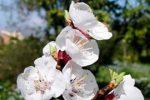 Καλλιέργεια Βερικοκιάς σε Κήπο και Γλάστρα. Συμβουλές Εχθροί Ασθένειες