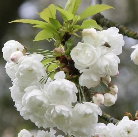 Καλλιέργεια Κερασιάς σε Κήπο και Γλάστρα. Επικονιαστές