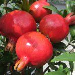 Καλλιέργεια Ροδιάς σε Κήπο και Γλάστρα. Συμβουλές, Εχθροί, Ασθένειες