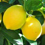 Λεμονιά - Καλλιέργεια Ποικιλίες Εχθροί Ασθένειες