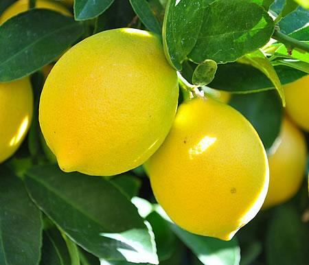 Καρποί λεμονιάς