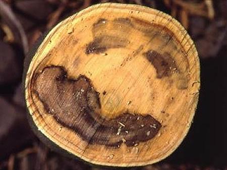 κορυφοξήρα-παρατηρείται ο μεταχρωματισμός του ξύλου