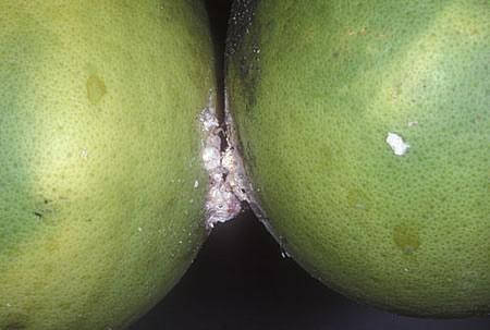 Ψευδόκοκκος σε πράσινο λεμονάκι