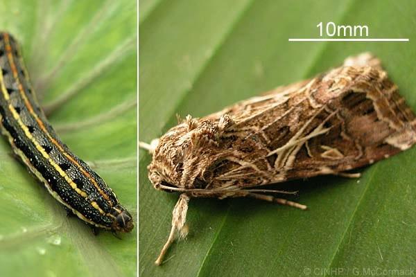 Σηριβίδια των Λαχανικών Spodoptera littoralis