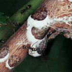 Κοκκοειδή Αμπελιού