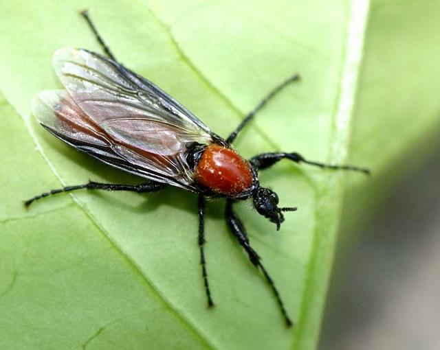 Προνύμφες Bibionidae