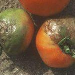 Περονόσπορος Ντομάτας