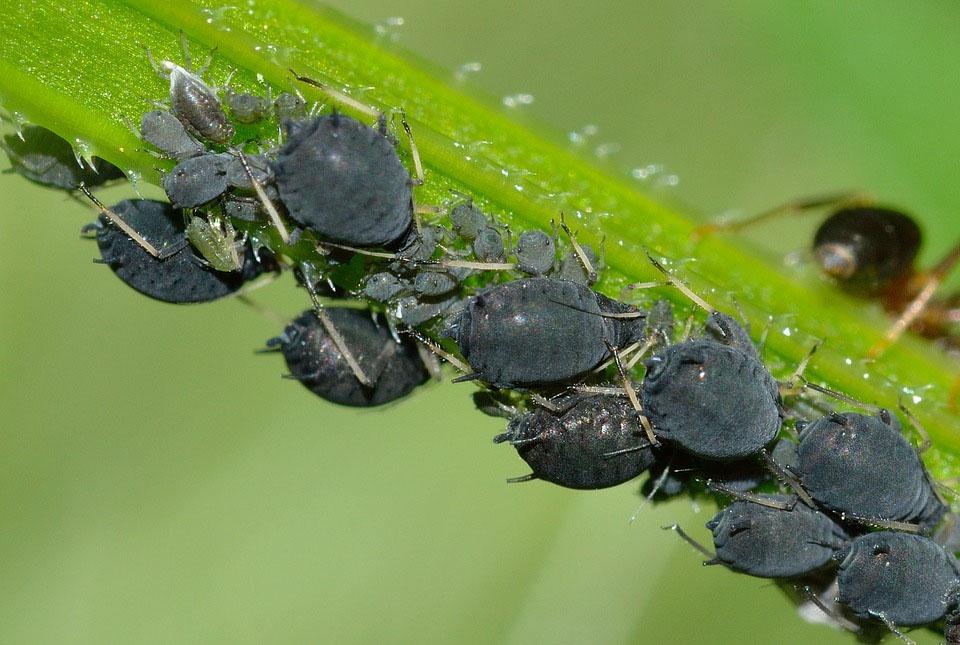 Μαύρη Αφίδα των Κουκιών