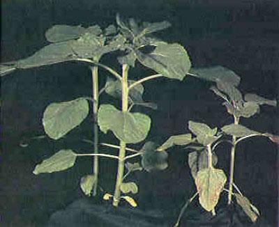 Τροφοπενία φωσφόρου σε φυτό ηλίανθου