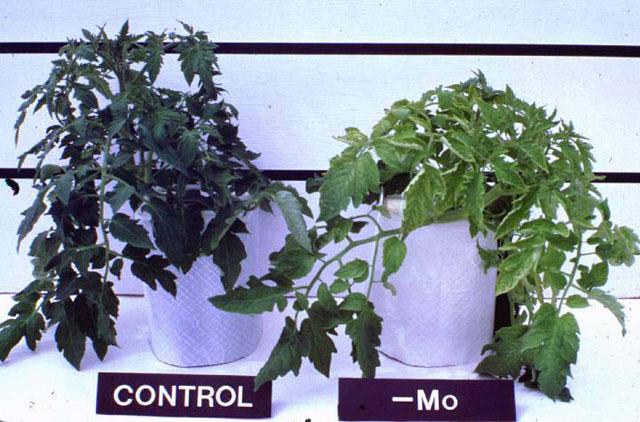 αριστερά φυτό ντομάτας χωρίς ανεπάρκεια μολυβδαινίου, ενώ στα δεξιά φυτό με τροφοπενία