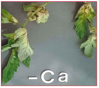 Τροφοπενία ασβεστίου σε φύλλα ντομάτας
