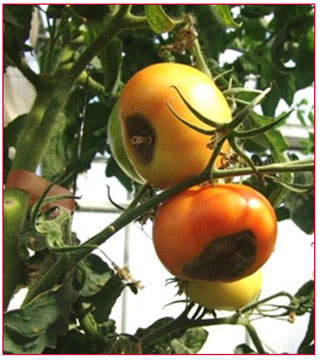 Τροφοπενία ασβεστίου σε καρπούς ντομάτας