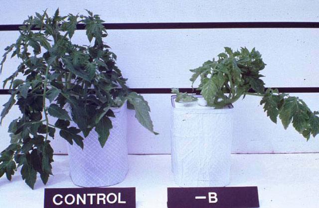 Υγιές φυτό ντομάτας στα αριστερά και στα δεξιά με ανεπάρκεια βορίου
