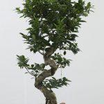 Μπονσάι (Bonsai) - Μικρά Δέντρα