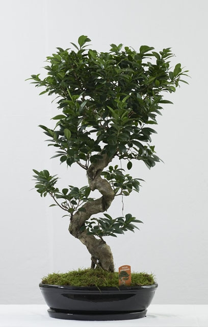 Μπονσάι (Bonsai) – Μικρά Δέντρα