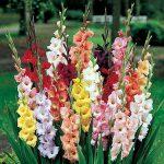 Γλαδιόλα (Γένος Gladiolus). Διακοσμητικό Φυτό για τον Κήπο