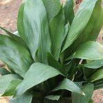 Ασπιδίστρα (Γένος Aspidistra). Διακοσμητικό Φυτό για Βορεινά Μέρη στον Κήπο