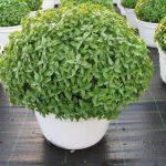 Βασιλικός (Ocimum basilicum). Διακοσμητικό Φυτό για Νότια Μέρη στον Κήπο