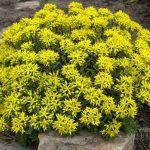 Σέδο (Sedum spurium). Διακοσμητικό Φυτό για τον Κήπο