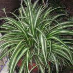 Αράχνη (Chlorophytum comosum). Διακοσμητικό Φυτό για τον Κήπο και το Εσωτερικό του Σπιτιού