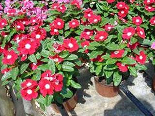 Βίνκα (Vinca minor). Διακοσμητικό Φυτό για τον Κήπο