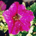 Πετούνια (Petunia hybrida). Διακοσμητικό Φυτό για τον Κήπο