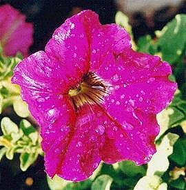 Πετούνια (Petunia hybrida)