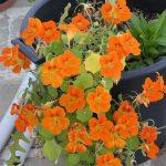 Καπουτσίνος (Delphinium ajacis). Διακοσμητικό Φυτό για Μπορντούρα στον Κήπο