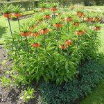 Ίμπερη. Διακοσμητικό Φυτό για τον Κήπο