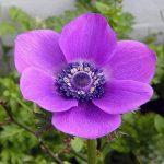 Ανεμώνα (Γένος Anemone). Διακοσμητικό Φυτό για τον Κήπο και το Εσωτερικό του Σπιτιού