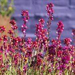 Λινάρια (Linaria marocana). Διακοσμητικό Φυτό για Βορεινά Μέρη στον Κήπο