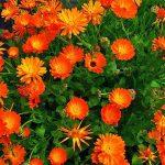Καλέντουλα (Calendula officinalis). Διακοσμητικό Φυτό για τον Κήπο και το Εσωτερικό του Σπιτιού