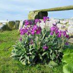 Βιολέτα (Γένος Viola). Διακοσμητικό Φυτό για Βορεινά Μέρη στον Κήπο