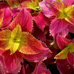 Βελούδο Τσελόζια (Coleus). Διακοσμητικό Φυτό για τον Κήπο