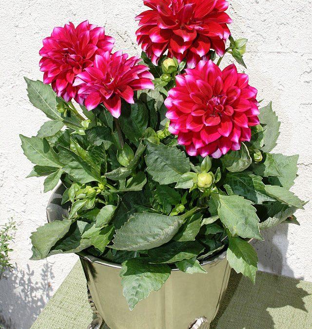 Ντάλια (Dahlia hybrida). Διακοσμητικό Φυτό για τον Κήπο και το Εσωτερικό του Σπιτιού