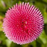 Μπέλλα (Bellis perennis). Διακοσμητικό Φυτό για Βορεινά Μέρη στον Κήπο