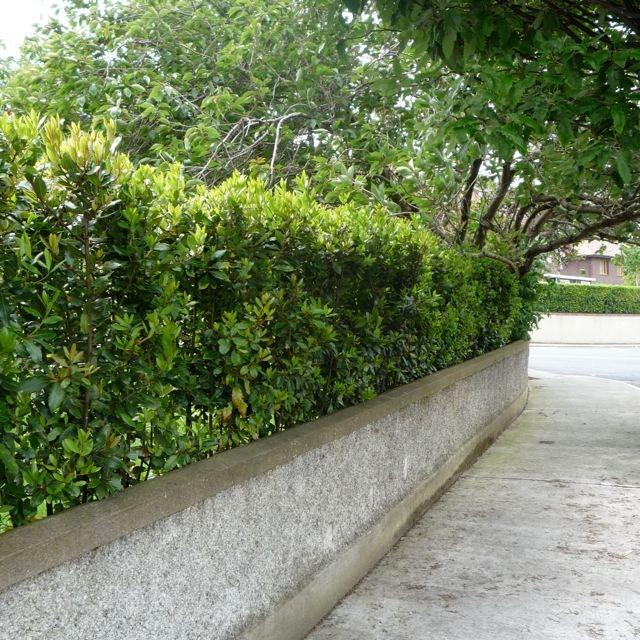 Δάφνη (Laurus nobilis). Θάμνοι για τον Κήπο