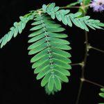 Μιμόζα (Mimoza pudica). Διακοσμητικό Φυτό για Νότια Μέρη στον Κήπο