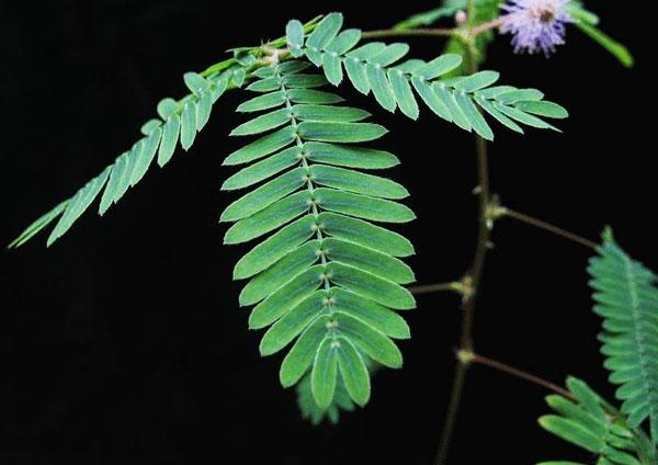 Μιμόζα (Mimoza pudica)