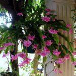 Επίφυλλο (Schlumbergera russelliana). Διακοσμητικό Φυτό για τον Κήπο
